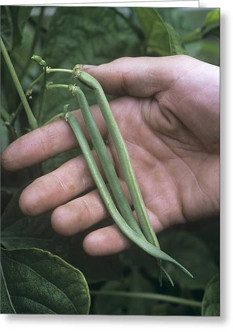 French Beans (phaseolus 'the Prince') Greeting Card