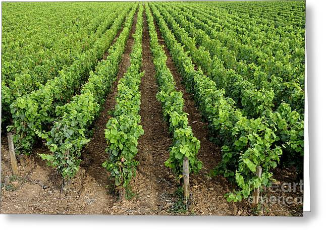 French Vineyard Greeting Card by Bernard Jaubert