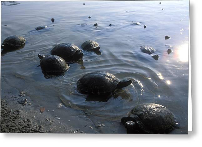 Fresh Water Turtles At Greeting Card by Stephen Alvarez