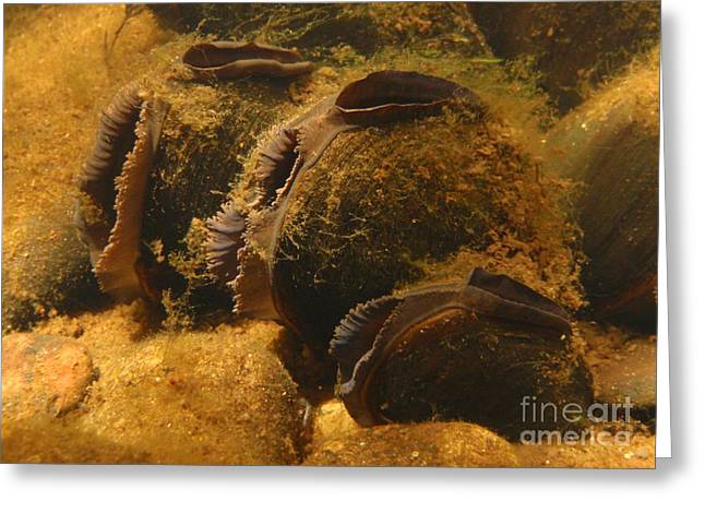 Freshwater Pearl Mussels Greeting Card