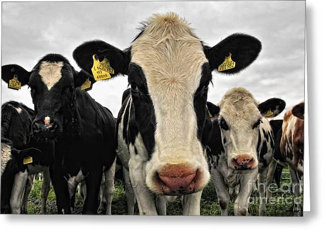 Fresian Cows Greeting Card by Jason Connolly