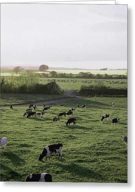 Friesian Bullocks, Ireland Herd Of Greeting Card by The Irish Image Collection