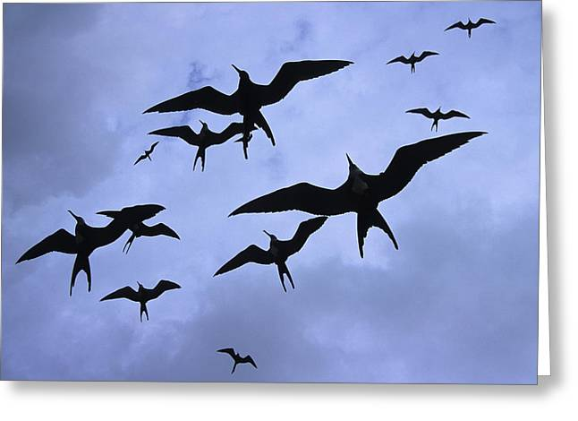Frigate Birds In Flight. Lighthouse Greeting Card by Ron Watts
