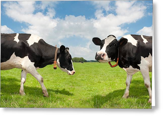 Greeting Card featuring the photograph Frisian Cows by Hans Engbers