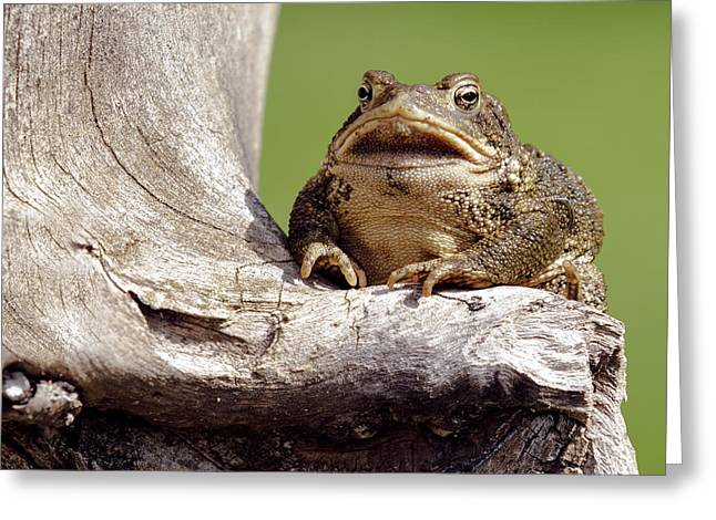 Frog Greeting Card by David Lester