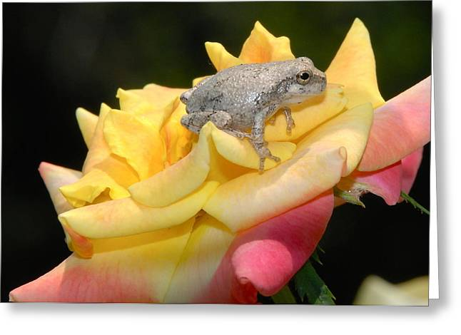 Frog Meets Rose Greeting Card by Kathy Gibbons