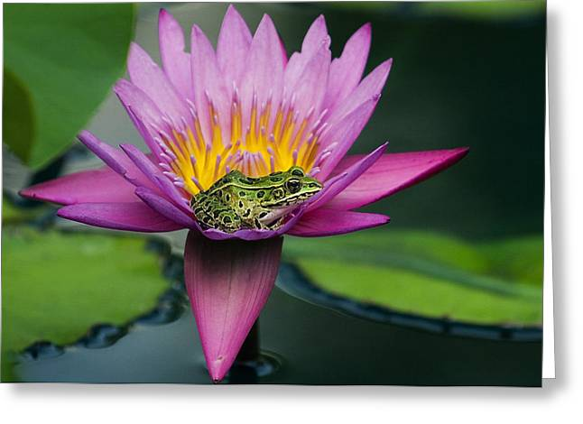 Frog On A Waterlily In Urban Pond, Leo Greeting Card by Mike Grandmailson