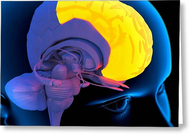Frontal Lobe In The Brain, Artwork Greeting Card by Roger Harris
