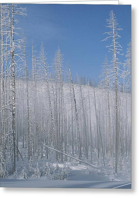 Frost Covered Burnt Trees In A Snowy Greeting Card