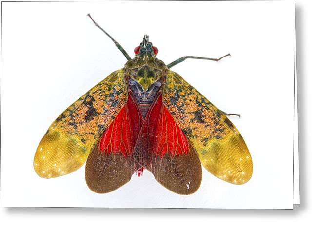 Fulgorid Planthopper Costa Rica Greeting Card by Piotr Naskrecki