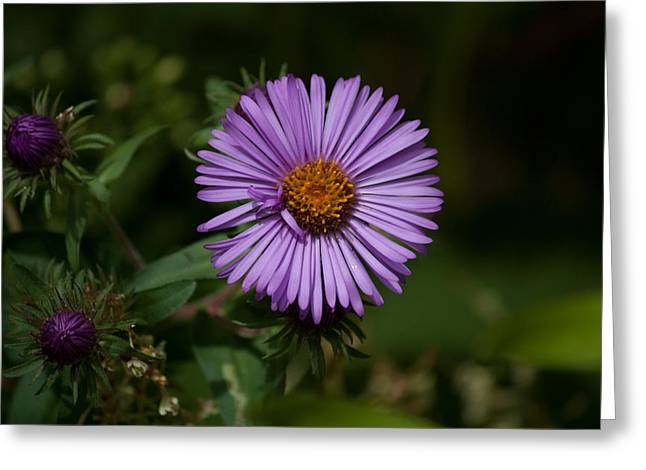 Full Aster Greeting Card