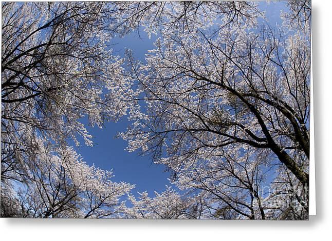 Full Bloomed Sakura Greeting Card by Tad Kanazaki