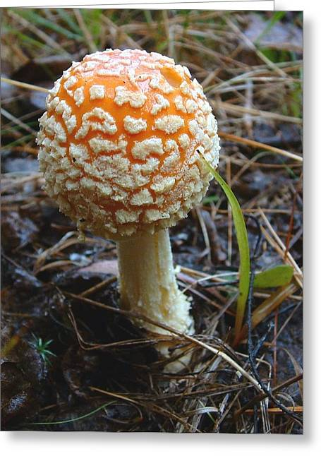 Fungus Fly Amanita Greeting Card