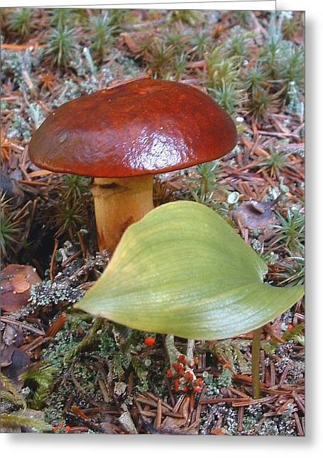 Fungus The Tapering Russula  Latin Name - Russula Saguinea Greeting Card