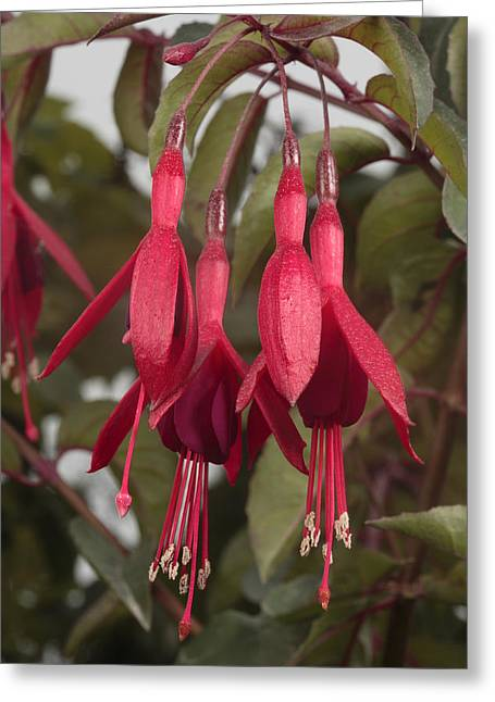 Fuschia Flower Greeting Card by George Grall
