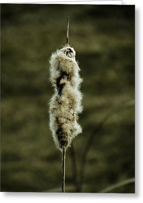 Fuzzy Cattail  Greeting Card by Beth Akerman