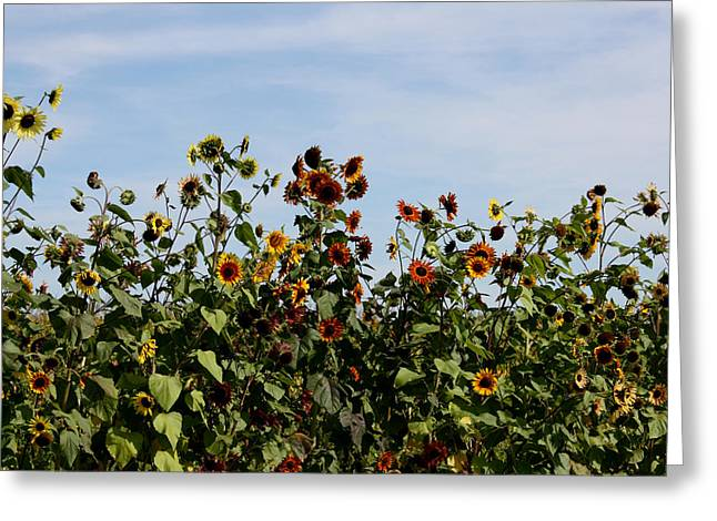 Greeting Card featuring the photograph Gaillardia On Parade by Penny Hunt