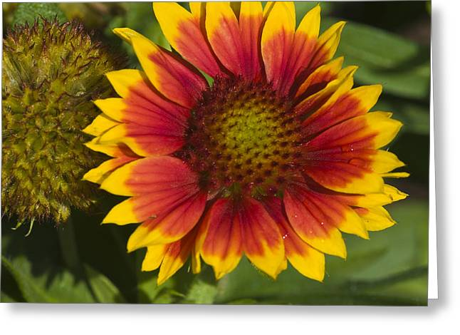 Greeting Card featuring the photograph Gaillardia by Rob Hemphill