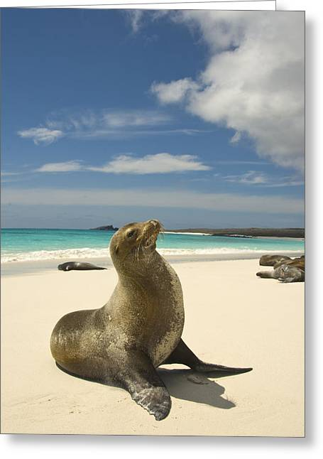 Galapagos Sea Lions Resting On A White Greeting Card by Annie Griffiths