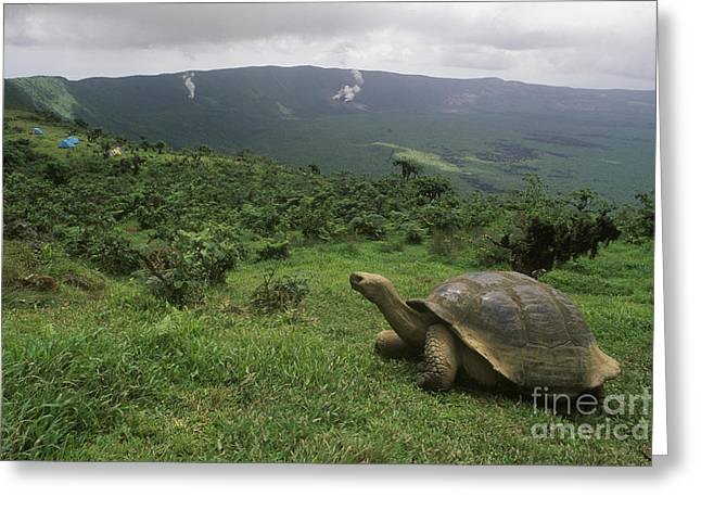 Greeting Card featuring the photograph Galapagos Tortoise - Alcedo Crater Galapagos by Craig Lovell