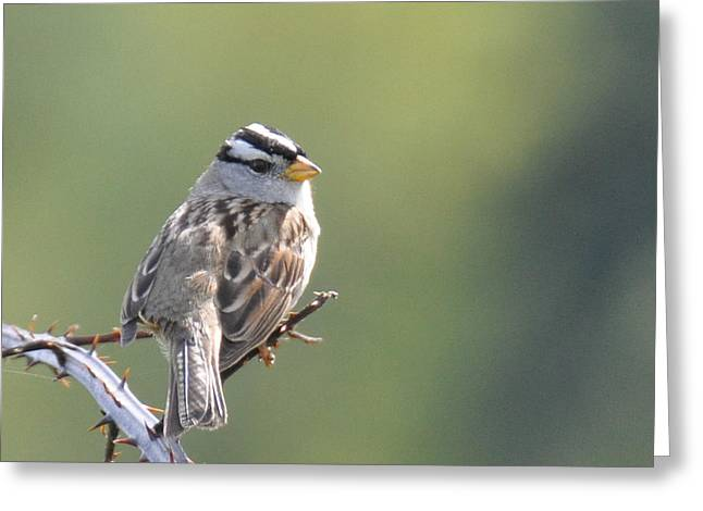 Greeting Card featuring the photograph Gambel's White Crowned Sparrow by Ronda Broatch