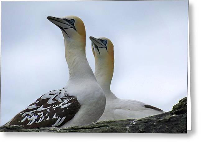 Greeting Card featuring the photograph Gannets by Lynn Bolt