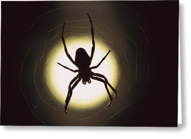 Garden Spider Araneus Sp Silhouetted Greeting Card by Heidi & Hans-Juergen Koch