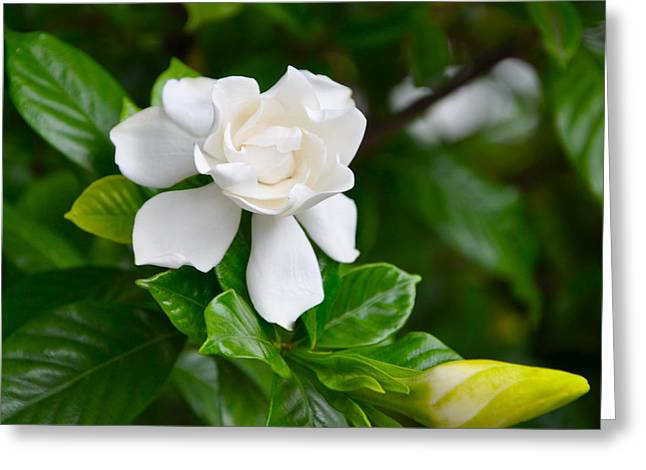 Gardenia Greeting Card by Lori Kesten