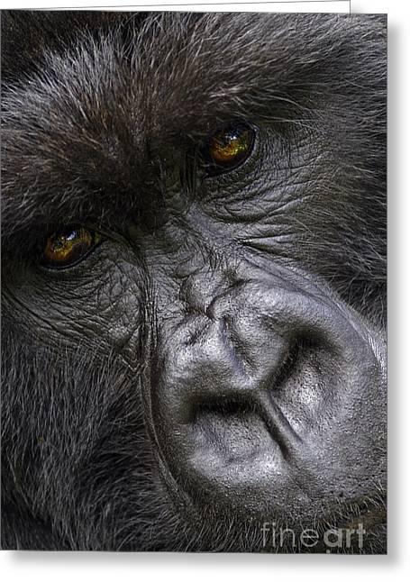 Greeting Card featuring the photograph Garunda The Gorilla - Rwanda by Craig Lovell