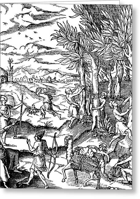 Gathering Cinnamon Bark In India, 1579 Greeting Card by Science Source