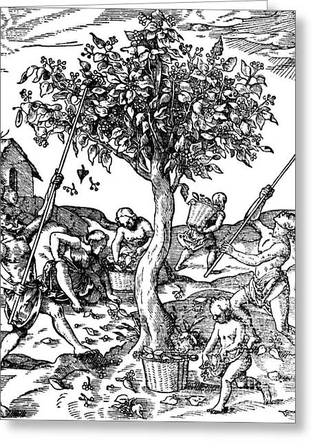 Gathering Pepper In India, 1579 Greeting Card by Science Source