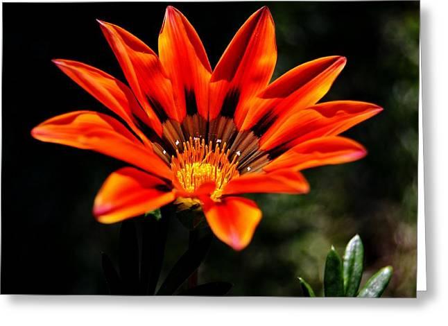 Greeting Card featuring the photograph Gazania Krebsiana Flower by Werner Lehmann