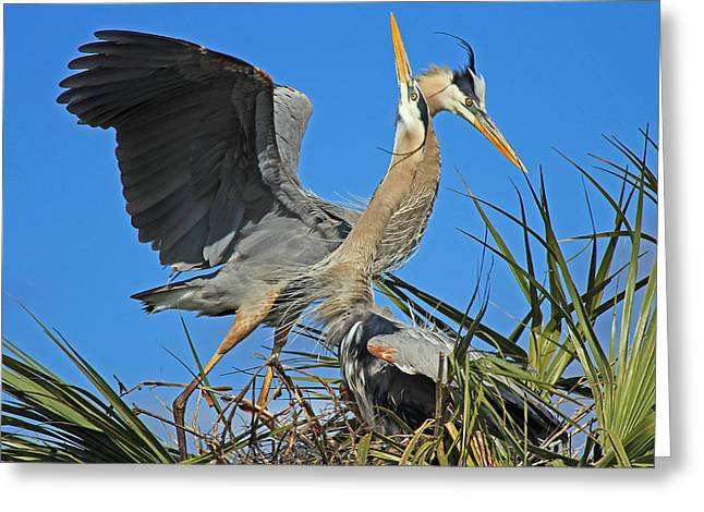 Greeting Card featuring the photograph Great Blue Heron Courtship Display by Larry Nieland