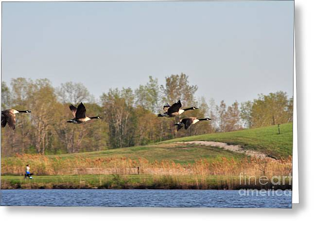 Geese Flying Greeting Card by Ginger Harris