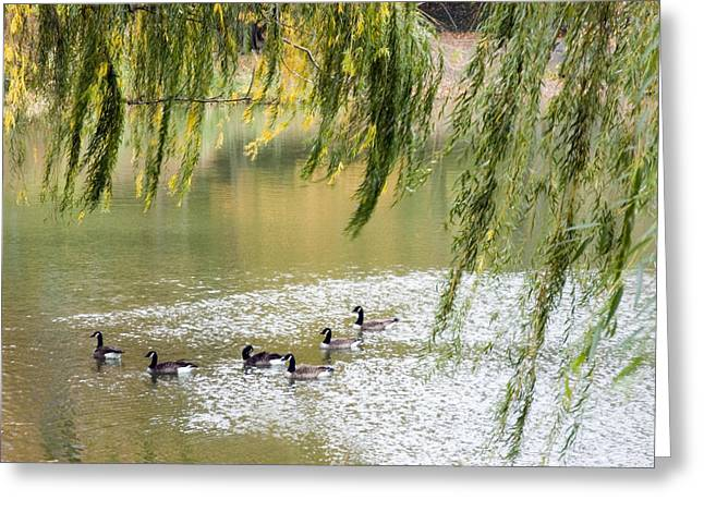 Geese In Central Park Greeting Card by Stacy Gold