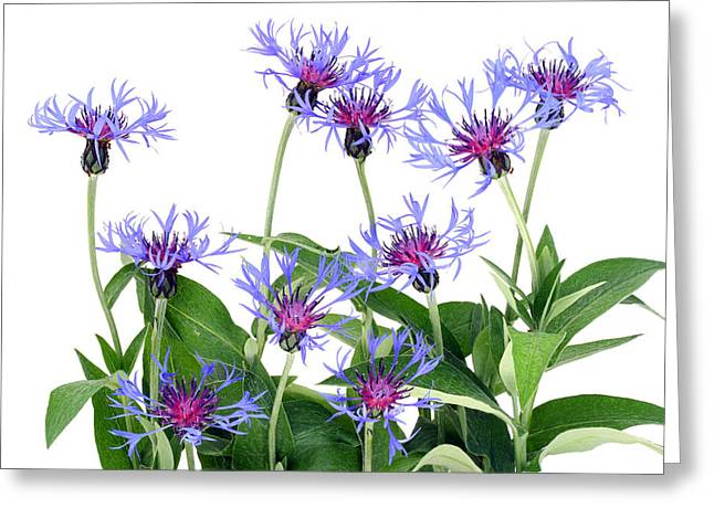 Greeting Card featuring the photograph Gentle Blue Cornflowers by Aleksandr Volkov