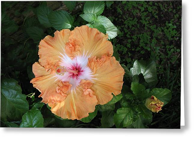 Gentle Orange Hibiscus Greeting Card by Connie Fox