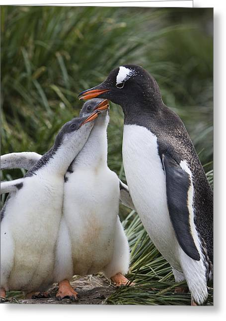 Gentoo Penguin Parent And Two Chicks Greeting Card by Suzi Eszterhas