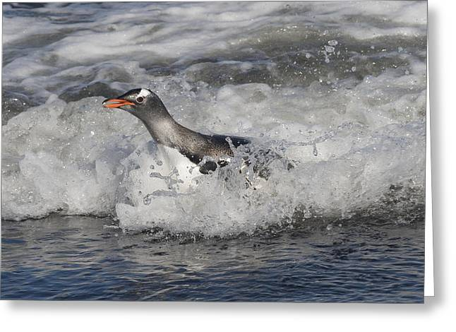 Gentoo Penguin Riding Surf To Shore Greeting Card by Flip Nicklin