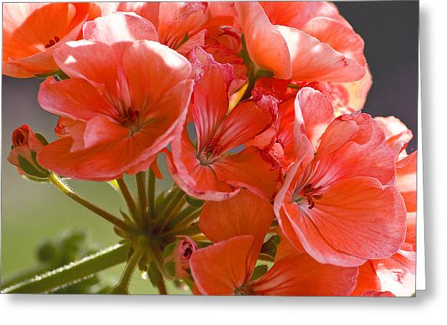 Geranium Greeting Card by Michael Friedman