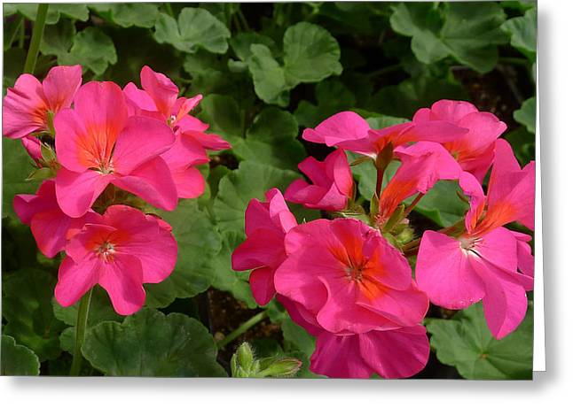 Geraniums Greeting Card by Linda Pope
