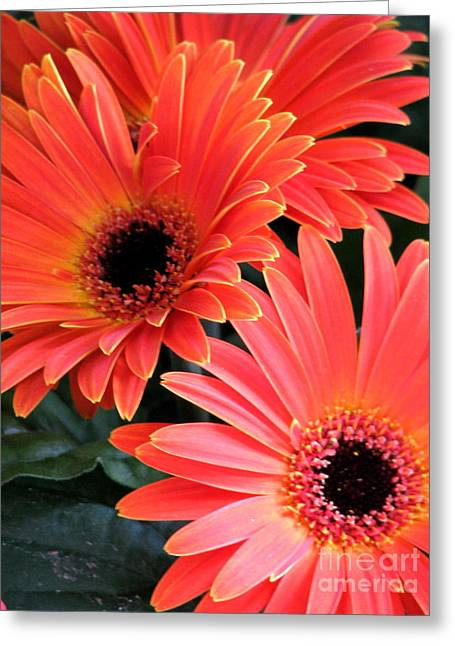 Gerbera Bliss Greeting Card by Rory Sagner