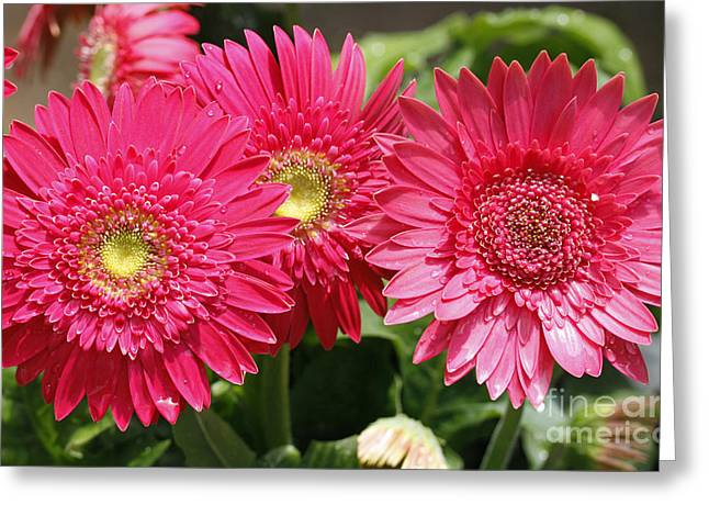Gerbera Daisies Greeting Card by Denise Pohl