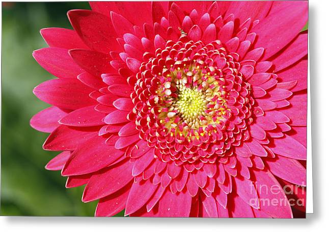 Gerbera Daisy Greeting Card by Denise Pohl