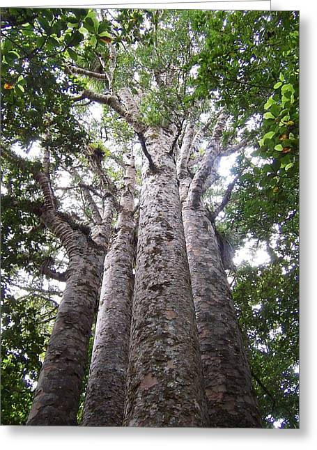 Giant Kauri Grove Greeting Card by Peter Mooyman