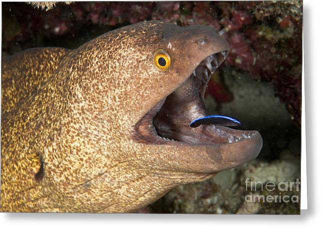 Giant Moray Eel And Cleaner Wrasse Greeting Card