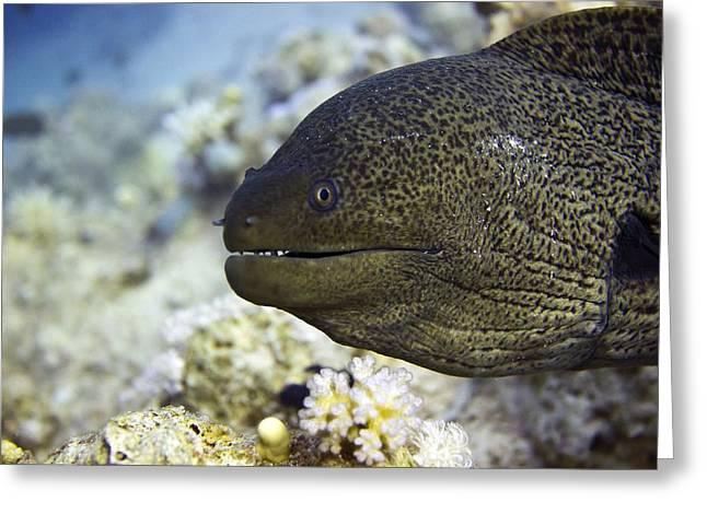Giant Moray Eel Greeting Card