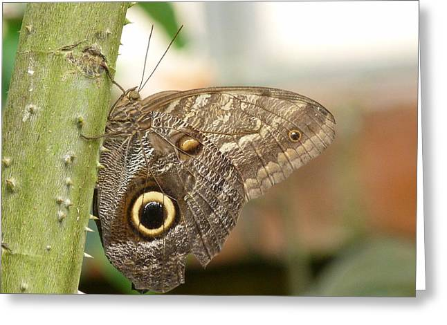 Greeting Card featuring the photograph Giant Owl Butterfly by Lynn Bolt