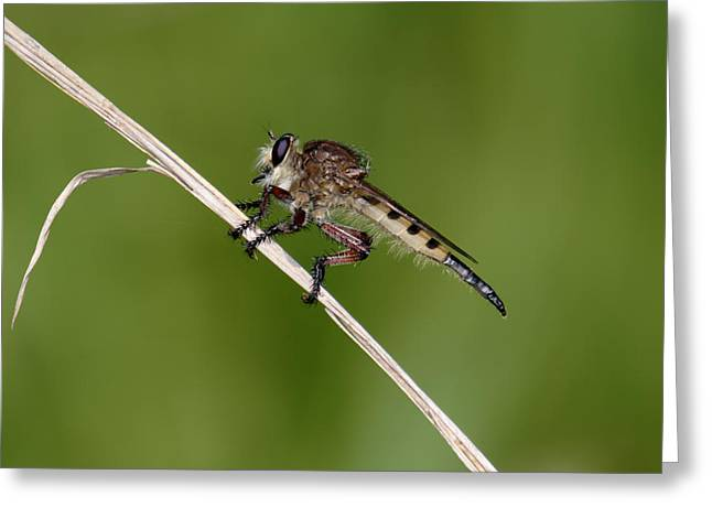 Greeting Card featuring the photograph Giant Robber Fly - Promachus Hinei by Daniel Reed