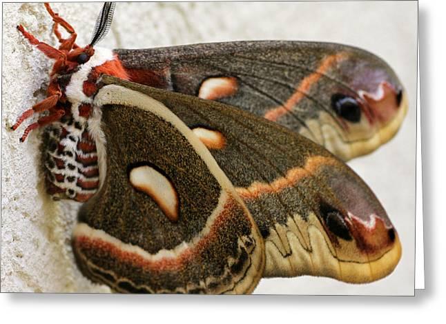 Giant Silkworm Moth 063 Greeting Card
